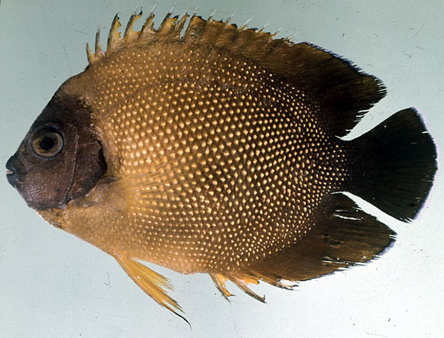 A type specimen of A. guezei. The bluish face is poorly-shown here. Credit: John Randall