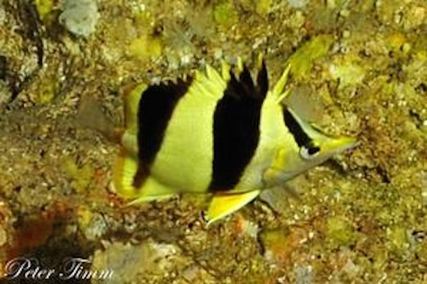 Prognathodes guezei from 110m, Sodwana Bay, South Africa. Photo credit: Peter Timm.