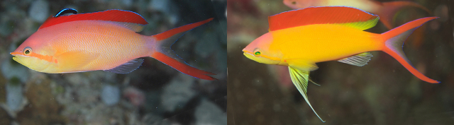 Variation in male coloration of P. ignitus. Credit: michiki618