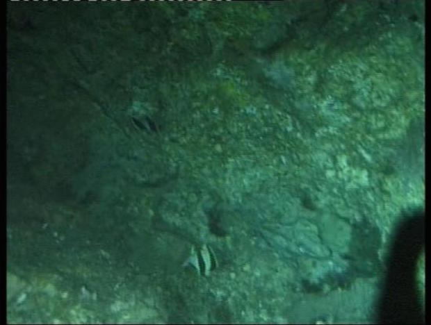 A pair of P. guezei swimming upside down along a steep slope at 100m, Jesser Canyon, South Africa. Note the curvature of the tapering bands.