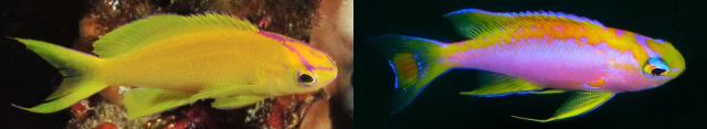 Compare the similar cranial markings of P. parvirostris with P. ventralis. Both groups also lack the cheek stripe common to other Pseudanthias. Credit: Jacky Wong & unknown