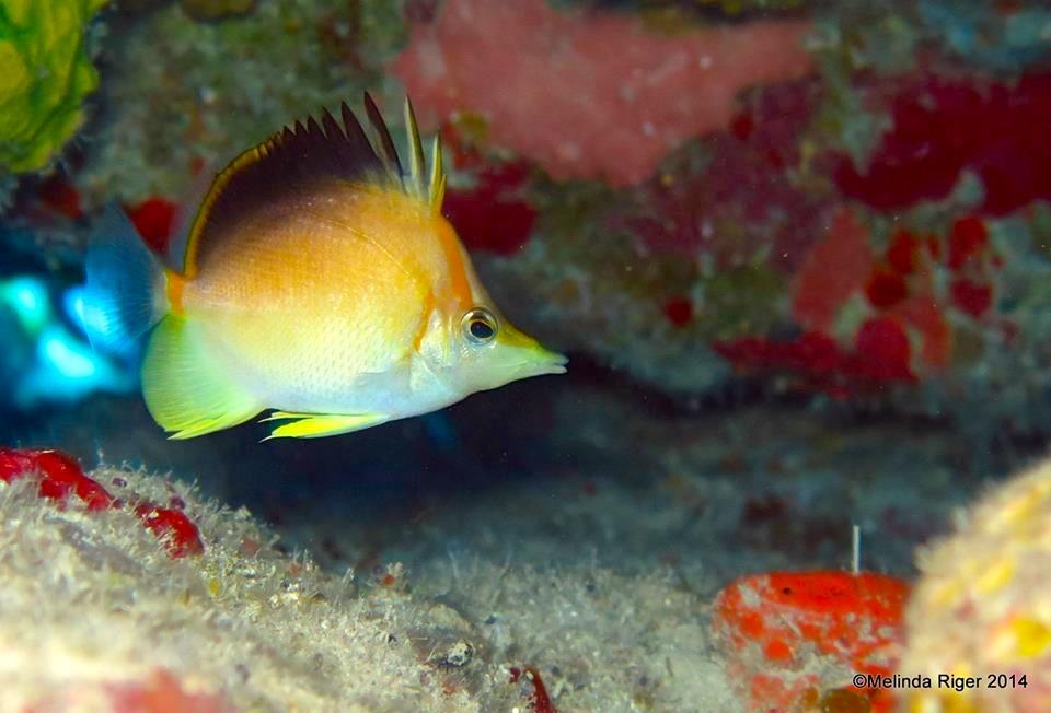 Prognathodes aculeatus in the Bahamas. Photo credit: Melinda Riger.