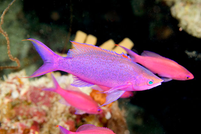 Fijian P. cf pascalus have several distinctive differences to their coloration. Credit: Paddy Ryan/Ryan Photographic