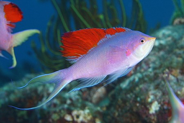 Extreme erythrism in P. pascalus. Note that Japanese specimens develop a yellow caudal fin. Credit: Ocean Blue