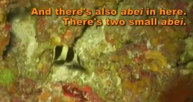 """Another banded Prognathodes filmed in Palau. This was documented during the documentary series """"Pacific Abyss"""", where the butterflyfish was seen sharing a hole with Centropyge abei and Chromis abyssus."""