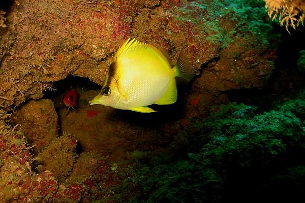 P. brasiliensis in situ. Photo credit: diveadvisor.
