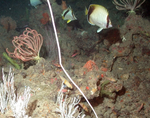 Prognathodes aya in situ at depth, with Chaetodon sedentarius and Pronotogrammus martinicensis. Note the deepwater structure and associated fauna. Photo credit: NOAA Flowergarden.
