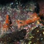 Three Colorful Red Shrimp: Cinetorhynchus manningi