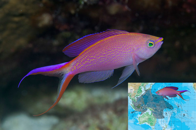 P. smithvanizi from Palau. Credit: argo-dive