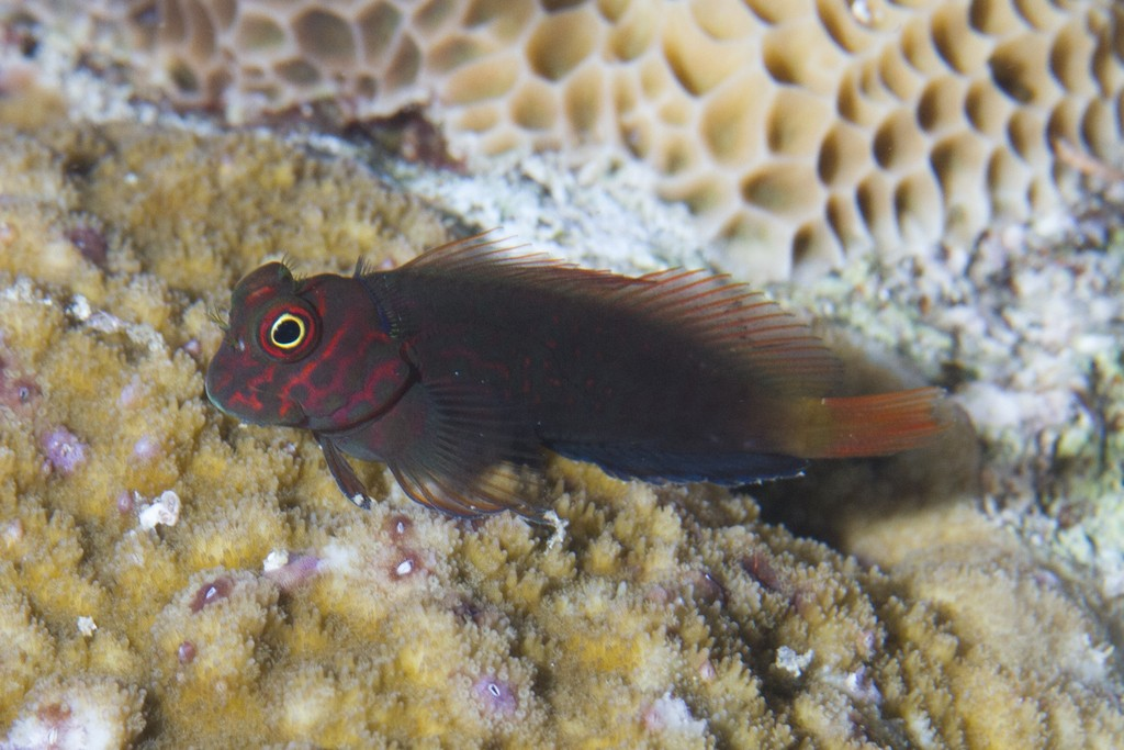 A subtler species, Cirripectes springeri. Credit: Mark Rosenstein