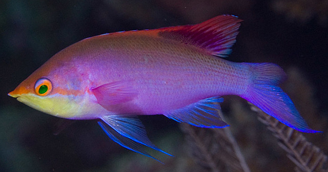 The purple blotch in the soft rays of the dorsal fin is diagnostic for P. tuka. The yellow throat is also a common feature, though not entirely reliable on its own for making identifications. From Sulawesi. Credit: Mark Rosenstein