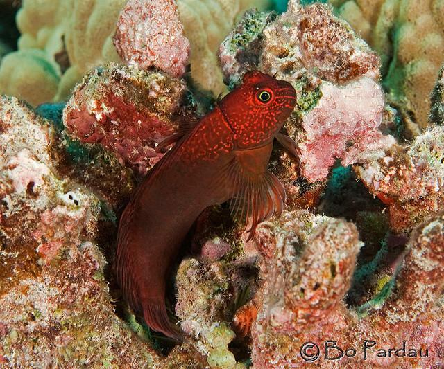 The Hawaiian endemic Cirripectes vanderbilti. Credit: Bo Pardau