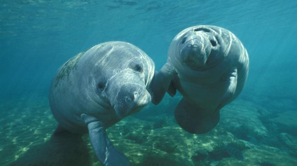 a look at the habitat of the west indian manatees 10 facts about manatees there are four species of manatees: the west indian manatee what will our oceans look like in 100 years wow.