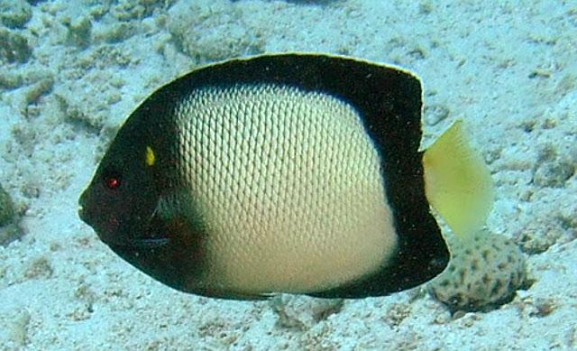 A. xanthotis in the Red Sea (Egypt). Credit: mdaxanthotis / Hurghada 2013