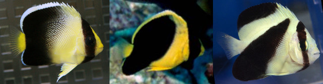 Juveniles: xanthurus, xanthotis, griffisi. Credit: Freewater, Richard Field, Aqua Stage 21