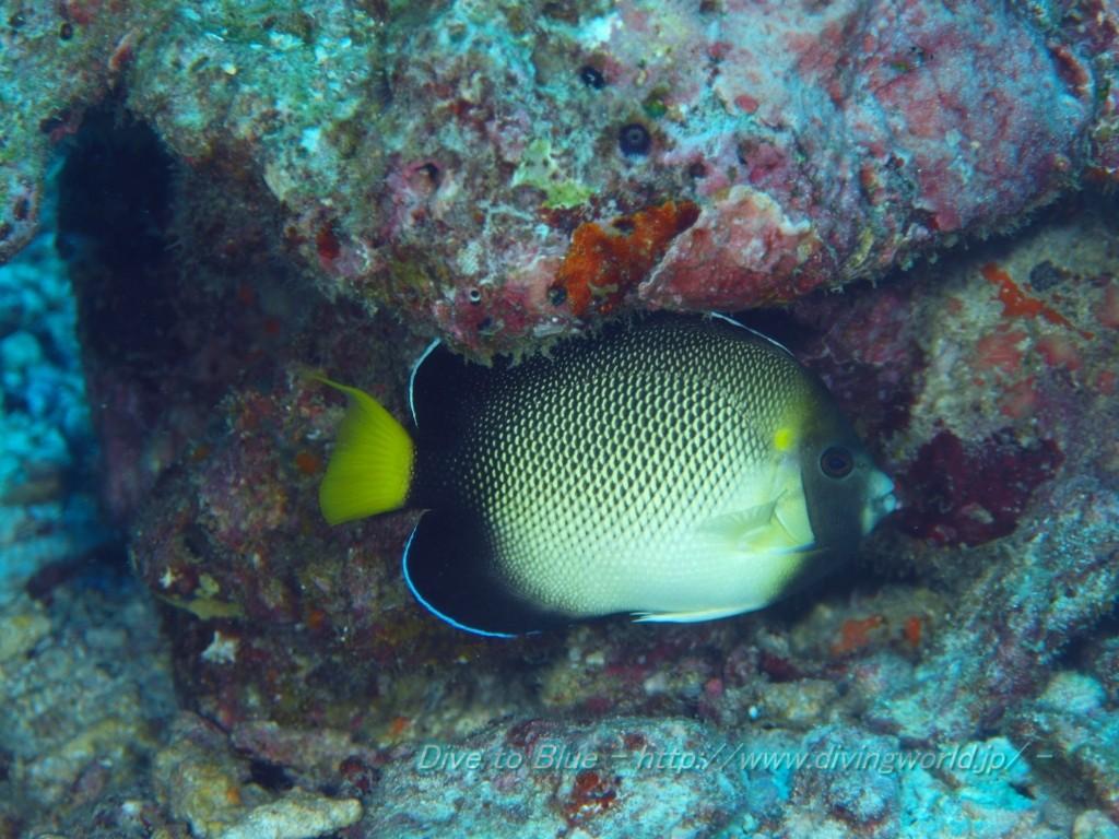 A. xanthurus at the Similan Islands, Thailand. Credit: Dive to Blue