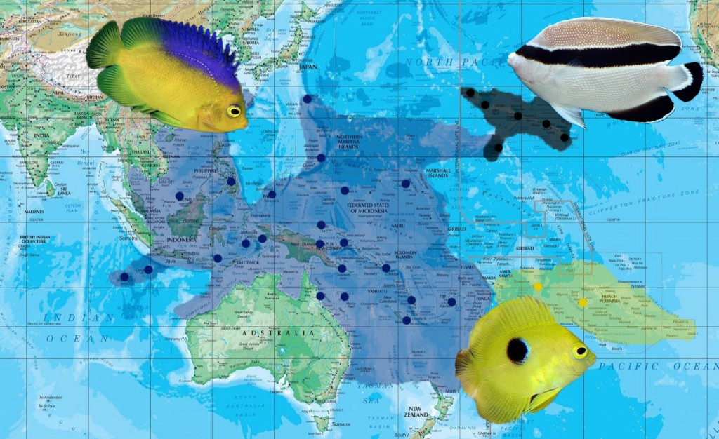 The biogeography of C. colini, C. narcosis and A. arcuatus. This clade represents a lineage of deepwater angelfish that occupy much of the Western, Central and Southern Pacific Ocean. Photo credit: Lemon TYK.