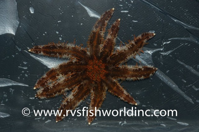 Dorsal view of a small aquarium specimen of Luidia magnifica. Credit: RVS Fishworld Inc