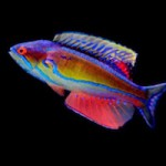 The flasher wrasse genus Paracheilinus gets a formal revision, along with the addition of three new species