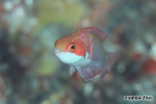 Note the short, pale pelvic fins. Credit: Shuichi Kobayash