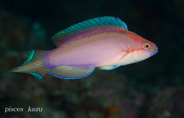 Cirrhilabrus lanceolatus shares many similarities with the Ogasawara fairy wrasse, including a lanceolate tail and a yellow dorsal stripe (faintly visible beneatht he magenta stripe in this specimen). Credit: pisces_kazu