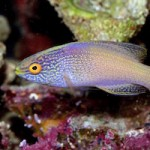 Epithet etymology: Cirrhilabrus rhomboidalis, the diamond-tail fairy wrasse