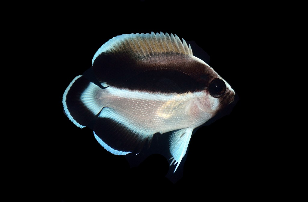 The taller body profile and dorsal fin spines are more clearly seen in the juveniles of A. arcuatus. Photo credit: Lemon TYK.