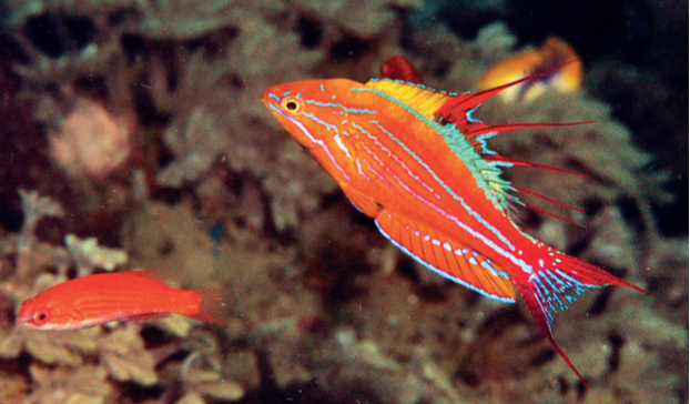 Paracheilinus paineorum. Note the red dorsal filaments. Photo credit: Gerry Allen.