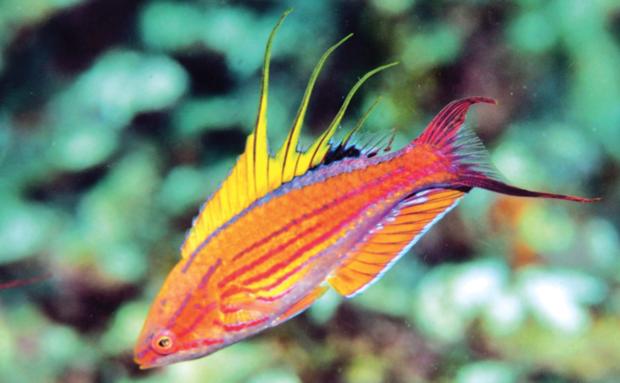 Paracheilinus xanthocirritus, Anambas Is. Photo credit: Gerry Allen.