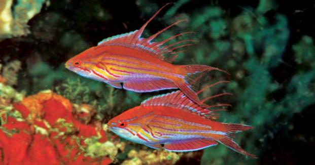The nominal P. filamentosus in Tufi, Papua New Guinea. Photo credit: Gerry Allen.