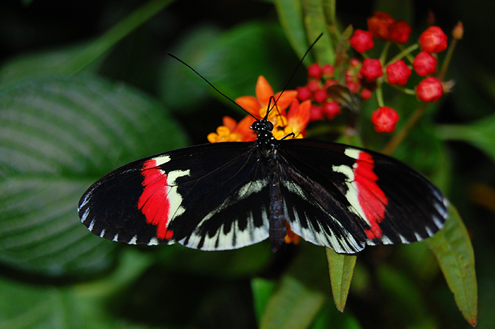 Heliconius butterfly. Photo by Jamie Craggs.