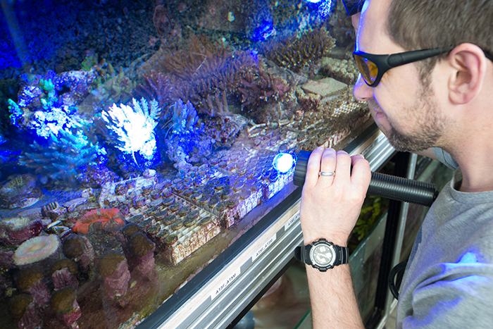 Jamie uses UV light to check on the coral larvae, see here on small plugs at the front of the aquarium. Eight crosses were made. Incidentally, there's a few colonies in this tank that are descended from the famous Stuber Acropora! Photo by Richard Aspinall.