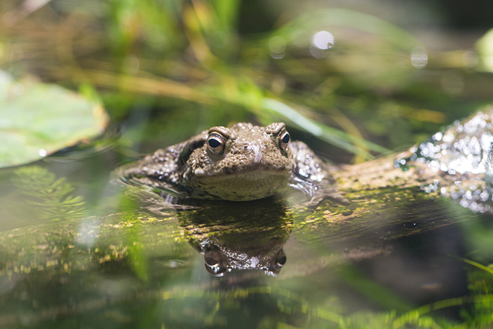 Common toad. Photo by Richard Aspinall.