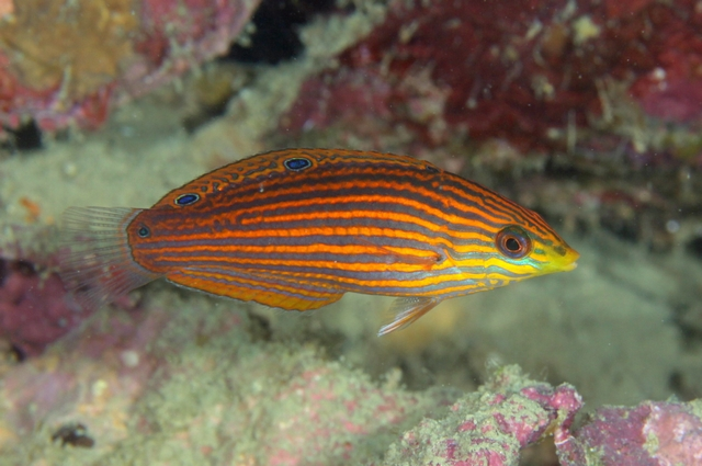 """A female """"Hemiulis"""" cf chlorocephalus, illustrating the striped appearance common to so many of these fishes. Credit: ベラ職人"""