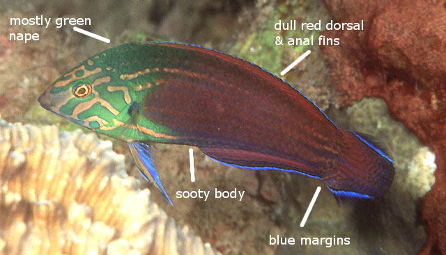 chlorocephalus png randall2