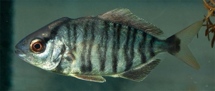 Seriola fasciata, lesser amberjack.