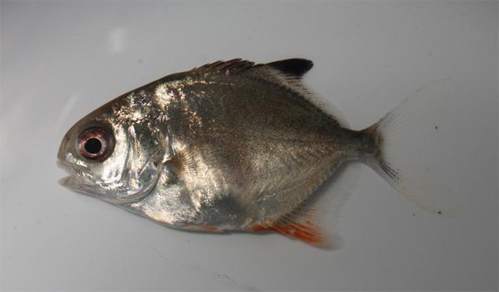 Trachinotus falcatus, permit.