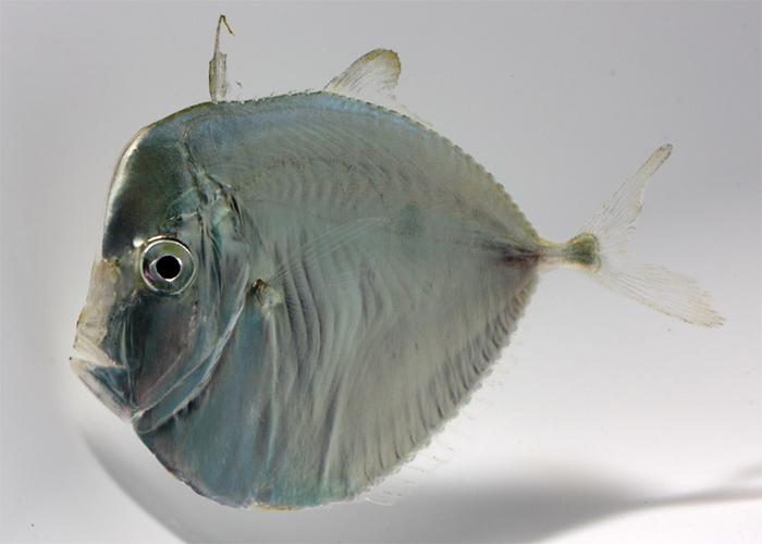 Selene setapinnus, moonfish.