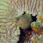 Goldentail Moray Eel, Gymnothorax miliaris