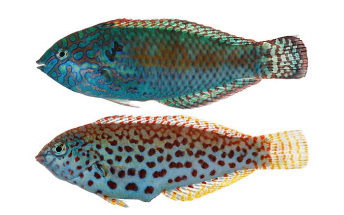 Macropharyngodon pakoko, male on top, female below. This recently described (2014) species is endemic to the Marquesan Islands. It bears a close resemblance to M. meleagris, but phenotypically, both sexes show noticeable differences. This disparity is further supported by molecular data, which clearly shows the need for a new specific allocation. Photo by Jeffrey T. Williams.