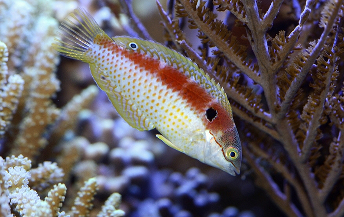 A female Macropharyngodon vivienae. Note the burgundy dorsum and the fine yellow spots. Also note the enlarged humeral spot. Photo by Lemon TYK.