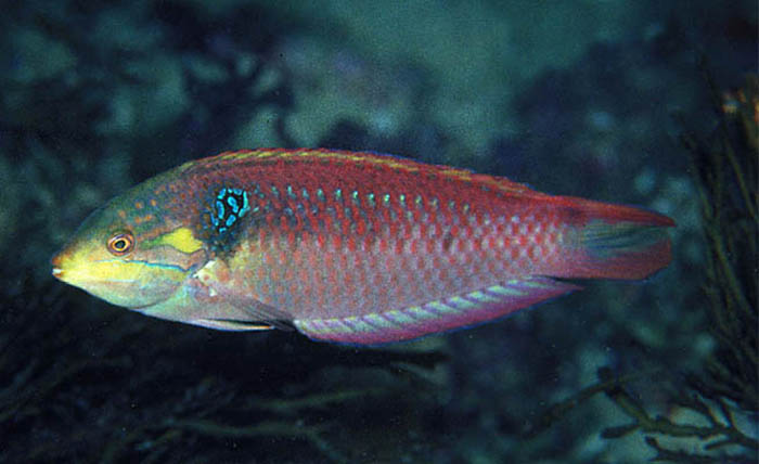A male M. vivienae in the field. Note the blue humeral spot and the reddish body hue. Photo by Fishwise Pro.