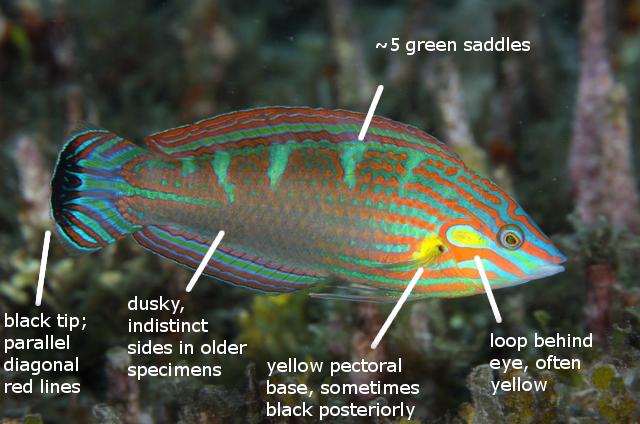 melanurus ベラ職人2 - Red & Green Halichoeres Wrasses - A Photographic Guide - Reefs.com