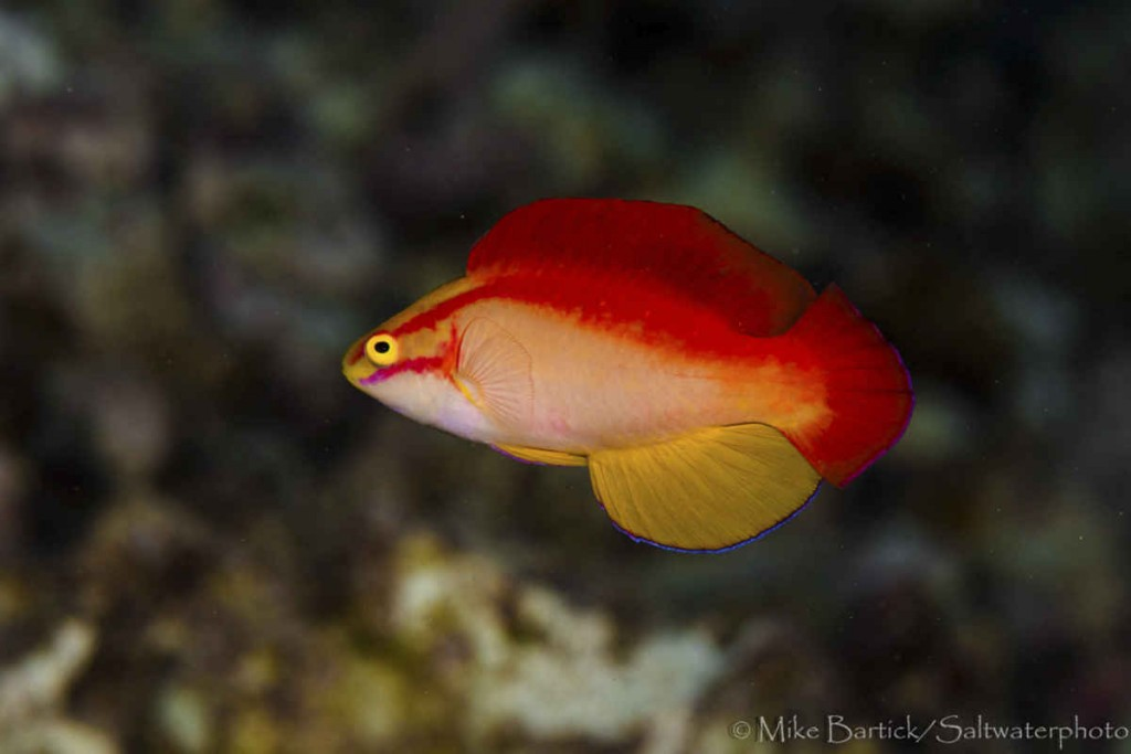 The Hawaiian Flame Wrasse Cirrhilabrus jordani is probably a longshot as a hybrid parent species, but there are some similarities in its reddish coloration. Credit: Mike Bartick