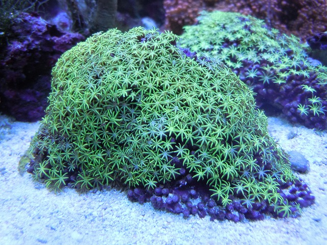 An unusual solid green specimen with small tentacles. A species identification on this is essentially impossible without scleritic study. Credit: Remix