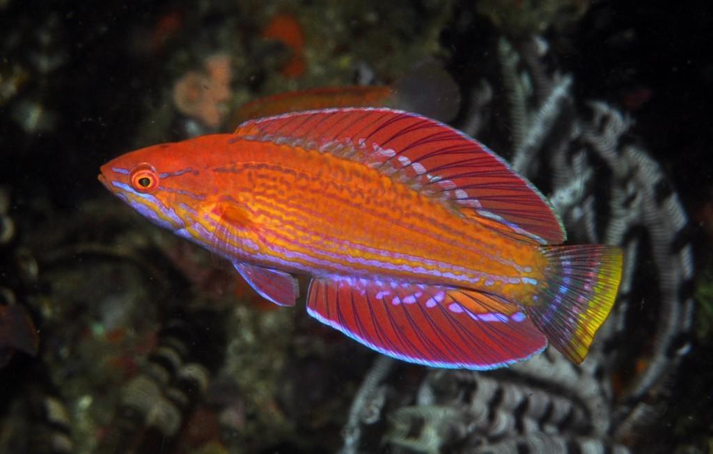 P. rennyae, photographed in Southwestern Flores. Credit: Mark Erdmann