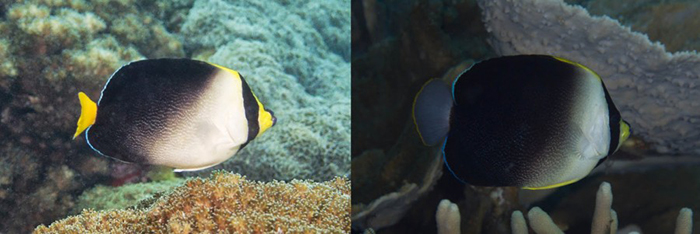 C. mesoleucus (Cebu, Philippines) & poliourus (Guadalcanal, Solomon Islands). Note the difference in caudal fin coloration. Photos by David Rolla & Mark Rosenstein.