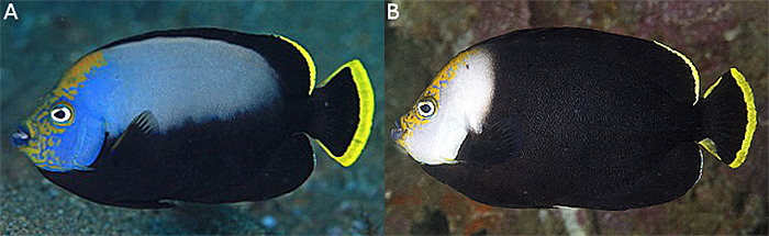 "A) the typical ""half-black"" body and black caudal fin of the true C. melanosoma, from Anilao. B) the melanistic body of C. vanderloosi, from Eastern PNG. Photo by Oceanblue."