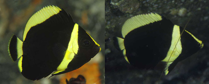 Juvenile cf melanosoma. The partially yellow pelvic fins diagnose this fish from C. melanosoma, which has entirely black pelvic fins. Credit: kiss2sea & T. Takemura.
