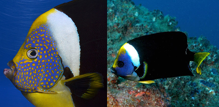 Compare the variation in the facial markings of these two meredithi. Photo by Aquarise & Dave Harasti.
